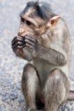 Rhesus Macaque - Macaca mulatta Stock Photography