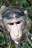 Rhesus Macaque - Macaca mulatta Stock Photo
