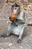Rhesus Macaque - Macaca mulatta Royalty Free Stock Photography
