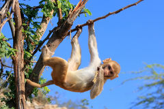 Rhesus macaque (Macaca mulatta) climbing tree near Galta Temple. In Jaipur, India. The temple is famous for large troop of monkeys who live here stock photos