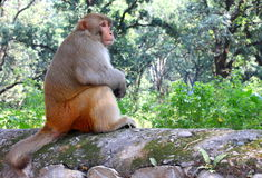 Rhesus macaque or Macaca mulatta Stock Image