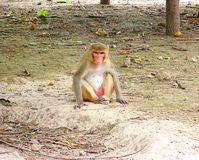 Rhesus Macaque - Macaca Mulatta. This is a photograph of rhesus macaque, scientific name macaca mulatta, commonly seen in Asia stock photography