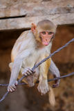 Rhesus macaque (Macaca mulatta) playing on a wire in Jaipur, Ind Royalty Free Stock Photos