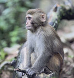 Rhesus Macaque meditating Stock Photography