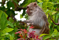 Rhesus macaque monkey Royalty Free Stock Images