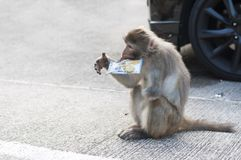 Rhesus Macaque with a missing arm tries to open a snack at Monkey Hill, Hong Kong. KAM SHAN COUNTRY PARK, HONG KONG - JULY 21, 2013 - Rhesus Macaque with a royalty free stock images