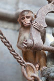 The rhesus macaque monkey Stock Photography