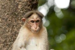 The rhesus macaque monkey Stock Photography