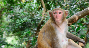 Rhesus macaque monkey in China Stock Photography