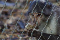 Rhesus Macaque Monkey. Close-Up of Rhesus Macaque monkey behind fence sharpening teeth on rock in London Zoo Stock Photos