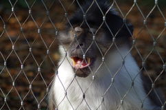 Rhesus Macaque Monkey. With closed eyes and open mouth showing sharp teeth behind fence in London Zoo Stock Image