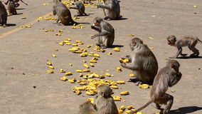 Rhesus macaque stock footage