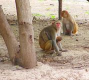 Rhesus Macaque Monkey Family with Kid in Forest Stock Photos