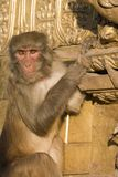 Rhesus macaque monkey with intense stare Stock Images