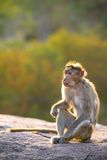 The rhesus macaque monkey Royalty Free Stock Photo