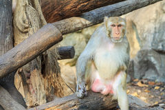 The rhesus macaque monkey (Macaca mulatta) Stock Images