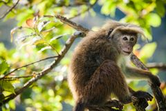 The rhesus macaque monkey (Macaca mulatta) Royalty Free Stock Photography