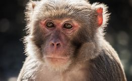 The rhesus macaque monkey (Macaca mulatta) Stock Photography