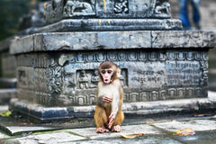Rhesus macaque monkey Royalty Free Stock Photography