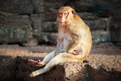 Rhesus macaque monkey portrait Royalty Free Stock Images