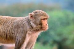 Rhesus macaque monkey Stock Image
