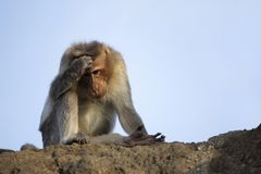 Rhesus macaque or monkey scratching head, Maharashtra, India.  stock photo