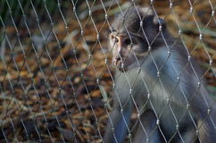 Rhesus Macaque Monkey. Thoughtful Looking Captive Rhesus Macaque Monkey Behind Fence in London Zoo Royalty Free Stock Photos