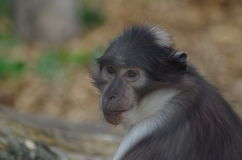 Rhesus Macaque Monkey. Thoughtful Looking Close-Up of Captive Rhesus Macaque Monkey Looking forward in London Zoo Stock Photo