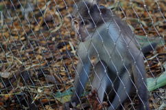 Rhesus Macaque Monkey. Young Rhesus Macaque monkey behind fence in London Zoo Stock Photo