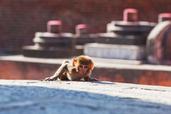 Rhesus macaque monkey Stock Images