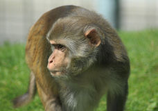 Rhesus macaque monkey Stock Image