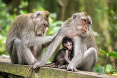 Rhesus macaque monkeys family Royalty Free Stock Photography