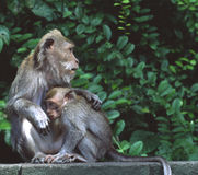 Rhesus Macaque Monkeys Indonesia Royalty Free Stock Photography