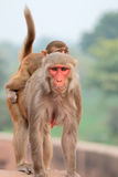 Rhesus macaque monkeys Royalty Free Stock Photo