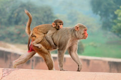 Rhesus macaque monkeys Stock Image