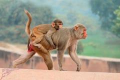Rhesus macaque monkeys Stock Image