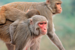 Rhesus macaque monkeys Stock Photos