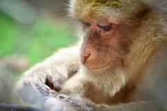 Rhesus macaque Stock Image