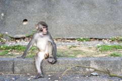 Rhesus Macaque with object stuck its throat, Hong Kong Stock Photos