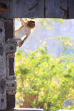 Rhesus macaque playing at the gate of Taragarh Fort, Bundi, Indi Stock Images