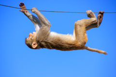 Rhesus macaque playing on a wire near Galta Temple in Jaipur, Ra Stock Photography