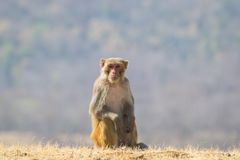 Rhesus macaque or Red faced Monkey Stock Images