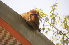 Rhesus Macaque on the roof of a bus stop, New Delhi Stock Photo