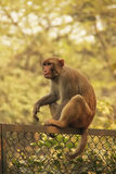Rhesus Macaque sitting on a fence, New Delhi Royalty Free Stock Image