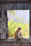 Rhesus macaque sitting on gate of Taragarh Fort, Bundi, India Stock Photography