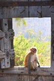 Rhesus macaque sitting on gate of Taragarh Fort, Bundi, India Stock Photography