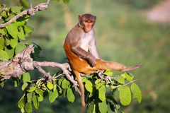 Rhesus macaque sitting on a tree near Galta Temple in Jaipur, Ra Stock Images