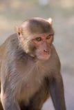 Rhesus Macaque sitting at Tughlaqabad Fort, Delhi, India Stock Image
