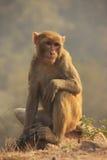 Rhesus Macaque sitting at Tughlaqabad Fort, New Delhi Stock Photos