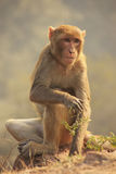 Rhesus Macaque sitting at Tughlaqabad Fort, New Delhi Royalty Free Stock Images